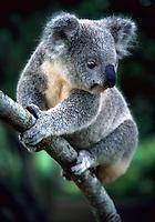 Koala at Lone Pine Koala Sanctuary, Brisbane, Queensland, Australia