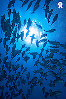 School of fishes,  Ecuador, Galapagos archipelago, Wolf Island, Pacific Ocean (Licence this image exclusively with Getty: http://www.gettyimages.com/detail/82064707 )