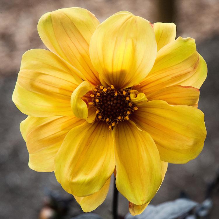 Dahlia 'Hadrian's Sunlight', early September. A golden yellow Single-Flowered Group dahlia.