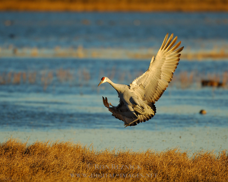 Sandhill Cranes Comical Sunset Landing Bosque del Apache Wildlife Refuge New Mexico