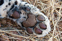Leopards have five toes on their front paws and four toes on their rear paws. The paw pads are surrounded by short, thick fur that helps the leopard keep its balance on slippery rocks and in trees. Both pads and this extra fur also help the leopard sneak up silently on prey.