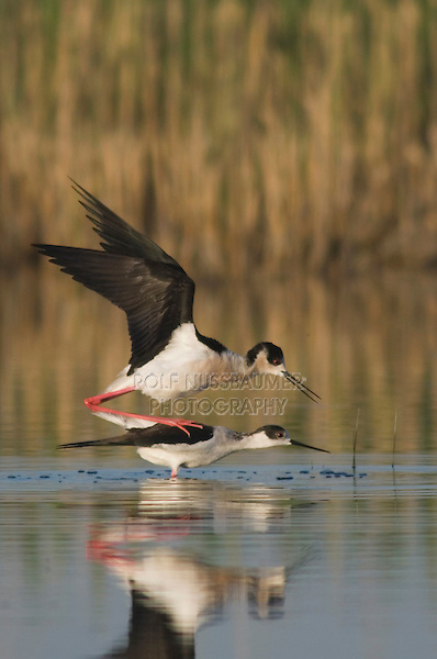 Black-winged Stilt, Himantopus himantopus, National Park Lake Neusiedl, Burgenland, Austria, Europe