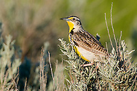 Western Meadowlark perched on some brush on the prairie
