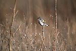 Yellow-rumped Warbler perched in brush.
