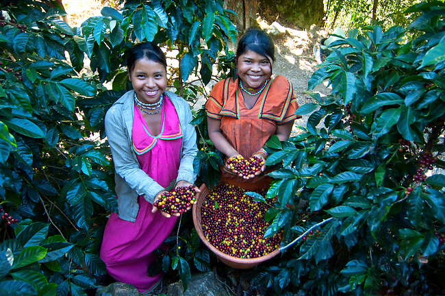 Indigenous Panamanian coffee pickers dressed in traditional clothing, live and work on a coffee farm in San Marcos de Tarrazu, Costa Rica.  Their basket is full of ripe coffee cherries.
