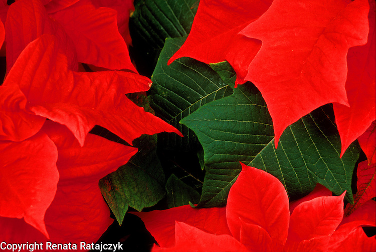Red Poinsettia flowers, close up photograph.