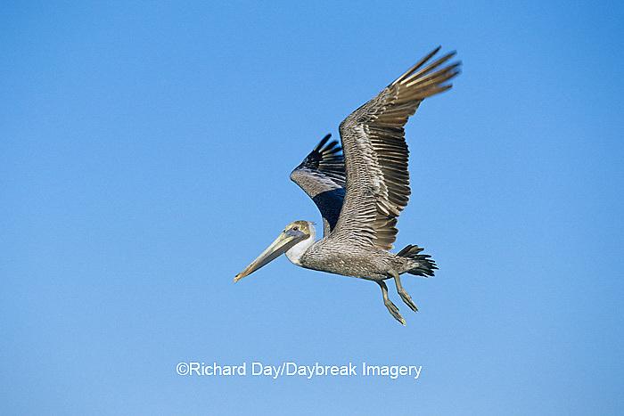 00672-00608 Brown Pelican (Pelecanus occidentalis)  in flight South Padre Island TX