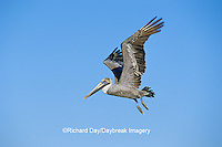 00672-00608 Brown Pelican (Pelecanus occidentalis)  in flight South Padre Island TX
