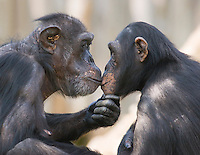 Germany, DEU, Muenster, 2007Jun05: A male and a female chimpanzee (Pan troglodytes) looking deeply in each others eyes in the Muenster zoo.