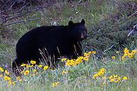 This black bear sow strolled through the arrow leaf balsam root, but the two cubs behind her were to busy wrestling to join her!