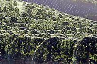 Wine grape vineyards dot the landscape in the Lake Chelan Valley.