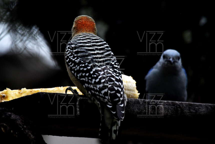 CALI – COLOMBIA - 25-11-2016: Pajaro Carpintero Habado y Azulejo, especies de aves presentes en el norte de Cali. / Habado Woodpecker and Azulejo, birds species present in north of Cali Photo: VizzorImage / Luis Ramirez / Staff.