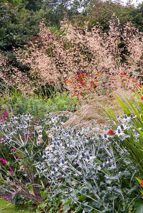 Eryngium with stipa calamagrostis plant flower stock for Ornamental grass with red flowers