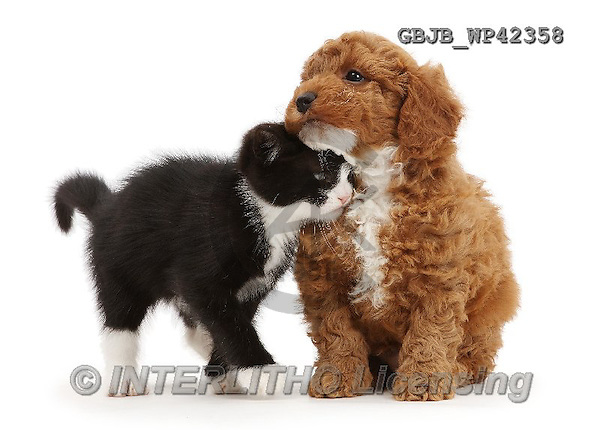 Kim, ANIMALS, REALISTISCHE TIERE, ANIMALES REALISTICOS, fondless, photos,+Black-and-white kitten, Solo, 7 weeks old, rubbing against F1b toy Cavapoo puppy.,++++,GBJBWP42358,#a#