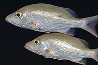 Mutton snapper, Lujanus analis, Bonaire, Caribbean Netherlands, Caribbean