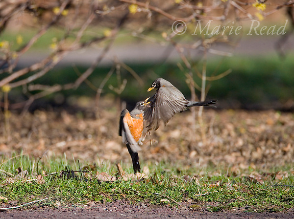 American Robins (Turdus migratorius) during territorial fight, Ithaca New York, USA