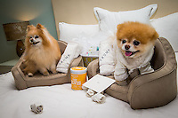 LAS VEGAS, NV - April 28 :  Buddy and Boo pictured as Boo, 'The World's Cutest Dog' sighting at a luxury penthouse at Trump International Hotel in Las Vegas, NV on April 28, 2014. © Kabik/ Starlitepics ***HOUSE COVERAGE***