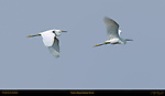 Snowy Egret Flight Study Sanibel Island Florida