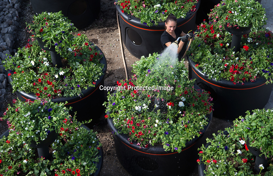22/05/15<br /> <br /> Aurika Baziulyte, 24, waters the pots before they are sent to Liverpool.<br /> <br /> It's been 'all hands on deck' for a nursery fulfilling a titanic order for 20 giant, four-tiered, planters containing 2,400 red white and blue flowering plants that will arrive on the dockside in Liverpool today to mark the 175th anniversary of Cunard. <br /> <br /> Plantscape, in Hulland Ward, Derbyshire only had two week's notice to prepare the order for the planters known as Eye-Full Towers. <br /> <br /> Each one will be topped-up with 300 litres of water and will weigh-in at a staggering 850 kg. They will be in position in-time for the arrival of The three Royal Cunard ships known as the 'Three Queens' which are are scheduled to make an historic appearance as a trio in the Mersey for the first time this bank holiday weekend.<br /> <br /> The giant planters have all been planted with geraniums, verbenas, surfinias and Trailing Begonias. The huge interlinked plastic containers were moulded specially for this order and three of the nursery's staff have been working tirelessly to get the order completed before all the planters were loaded onto three giant articulated lorries last night.<br /> All Rights Reserved: F Stop Press Ltd. +44(0)1335 418629   www.fstoppress.com.