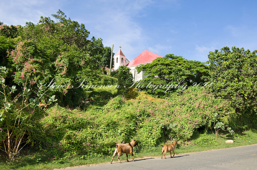Local goats walking the streets near the Moravian Church<br />