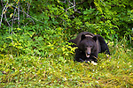A brown bear at Lake Eva, Baranof Island, Inside Passage, Alaska, USA