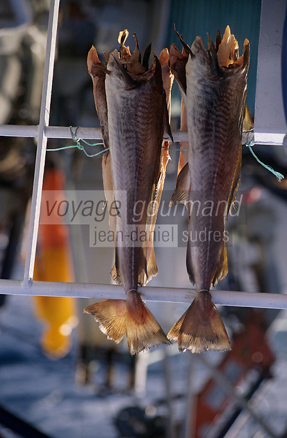 Europe/Norvège/Iles Lofoten : Pêche au skrei-cabillaud - sur le Stottvaring - La part de l'équipage sèche sur le bateau