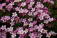 Pink alpine saxifrage has beautiful delicate flowers.
