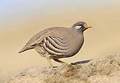 Sand Partridge - Ammoperdix heyi