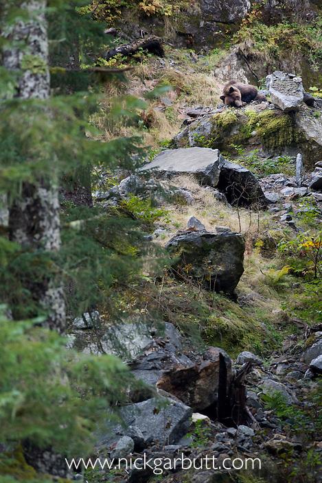 Grizzly Bear (Ursus arctos horribilis) sleeping. Khutze Inlet, Great Bear Rainforest, British Columbia, Canada.