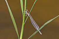 320190006 a wild female arroyo bluet enallagma praevarum perches on a water plant stem on a small pond in fort huachuca cochise county arizona united states