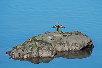 Double-crested Cormorant, Phalacrocorax auritus, dries its wings in the sun as it perches on a rock on the Pacific Coast near Jenner, California