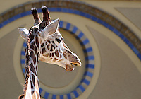 Stock image of a Giraffe in Berlin Zoo.<br />