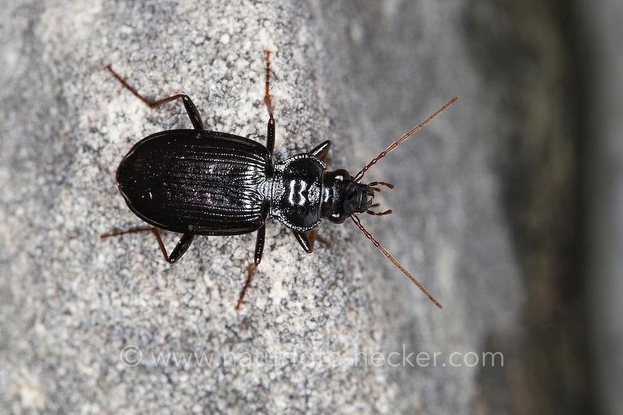 Feld-Dammläufer, Felddammläufer, Dammläufer, Laufkäfer, Nebria salina, Gazelle Beetle, ground-beetle, ground beetle