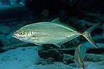 Carangoides ruber, Bar jack, Florida Keys