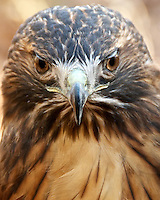 Ruby, a female Red-tailed Hawk resides at the Center for Wildlife in Cape Neddick, ME. It is being cared for at the Center for an injury that prevents it from being returned to the wild.