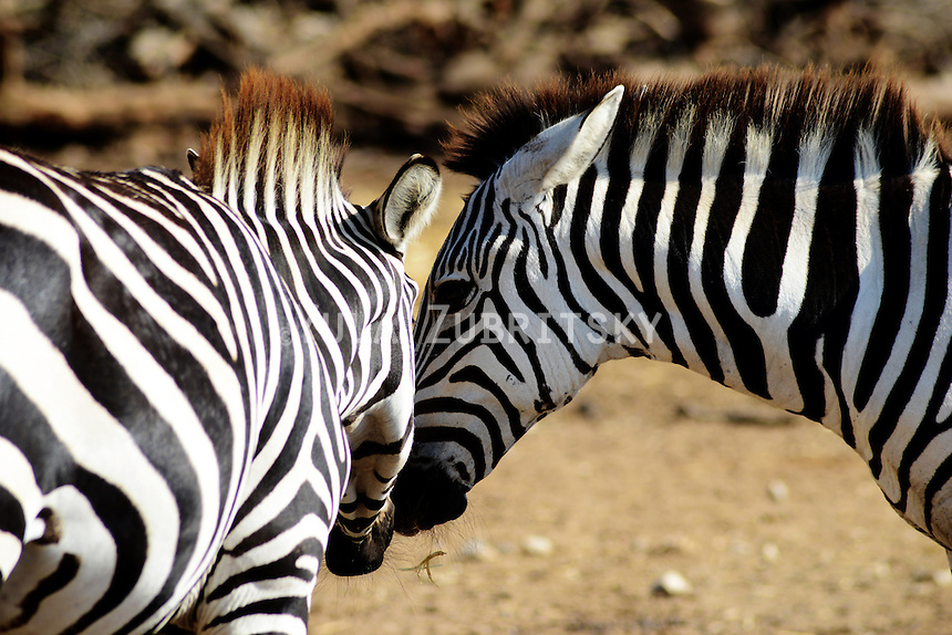 zebras couple love