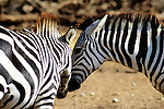 zebras couple love