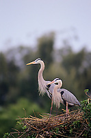Great Blue Herons on nest.