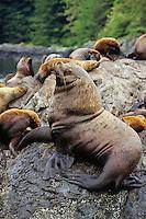 Northern or Steller's Sea Lions (Eumetopias jubatus) bull guarding territory and harem.  Pacific Northwest.
