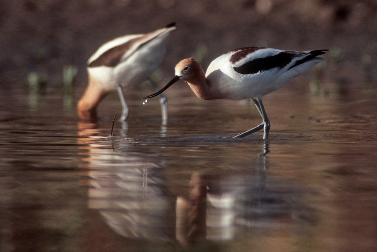 Hanford Reach National Monument, shorebirds, American avocet, Recurvirostra americana, Columbia River, Washington State,
