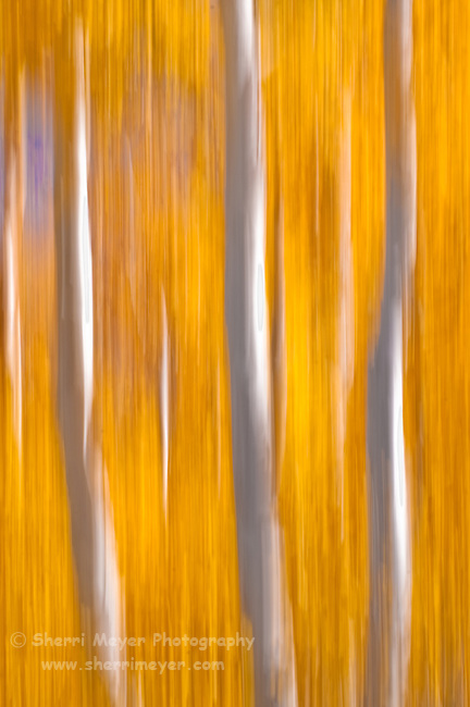"""Abstract Aspens,"" along scenic Highway 395, Eastern Sierra, California."