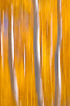 """Abstract Aspens,"" along scenic Highway 395, Eastern Sierra, California."