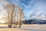 Yellowstone National Park, Wyoming: Frosted cottonwoods along Rose Creek in morning in the Lamar Valley with Amythest Peak in the distance