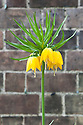 Crown imperial (Fritillaria imperialis), mid April.