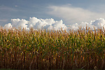 Idaho, South central, Hagerman. Fields of corn with a layer of clouds and blue sky near harvest time in evening light.
