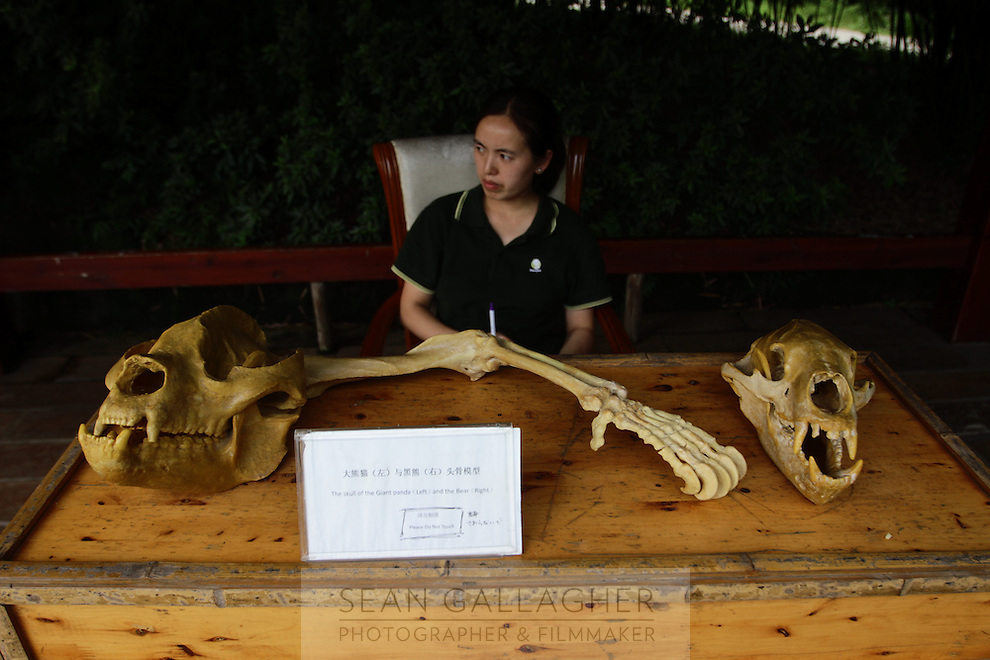 Giant Panda bones on display at the Chengdu Panda Breeding Center, in south-west China.