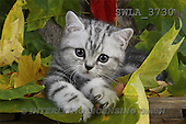 Carl, ANIMALS, photos(SWLA3730,#A#) Katzen, gatos
