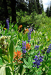 paintbrush lupine and corn lillies in bloom. Carson Pass