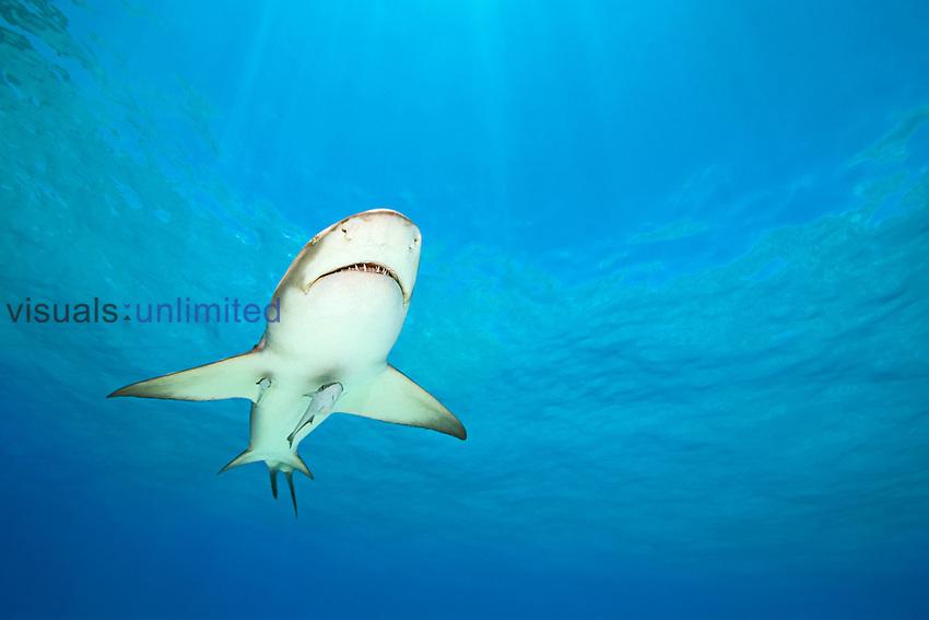 Lemon Shark (Negaprion brevirostris) with Sharksuckers or Remoras (Echeneis naucrates), Bahamas, Atlantic Ocean.