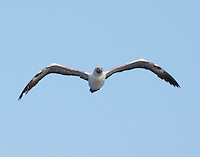 Adult masked booby flying